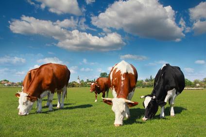 Rinder auf einer Wiese