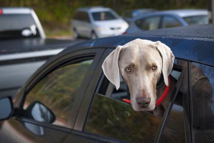 Hund wartet im Auto