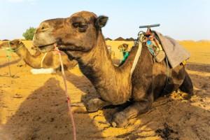 Unfall bei Kamelausritt
