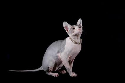 Nacktkatzenzüchterin vor Gerich