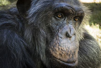 Älterer Schimpanse schaut nachdenklich