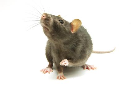 Kleine Ratte vor weißem Hintergrund